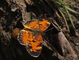 Butterfly - Trail Along Kenduskeg 6-12-17-pf.jpg