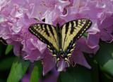 Swallowtail Garden 6-15-17.jpg