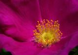 Rosa Rugosa - Garden 6-13-17-pf.jpg