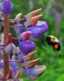 Bee Newman Hill - Hinds 6-18-17-pf.jpg