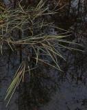 Reeds  Walden 5-22-15-pf.jpg