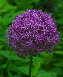 Allium Neighborhood 6-23-17.jpg