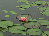Water Lily Little Long Pond  7-17-12-ed.jpg