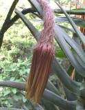 S. grandiflorus  6-26-08.jpg