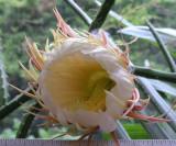 S. grandiflorus 7.25 PM 6-25-08.jpg