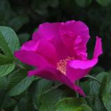 Rosa rugosa Garden 7-1-17.jpg