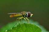 Hoverfly   Garden 7-1-17.jpg