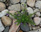 Plant- Petit Manan Shore b 8-17-10-ed-pf.jpg