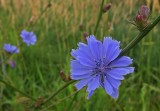 Chicory City Forest 7-12-17.jpg