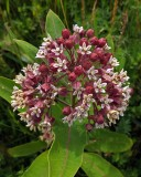 Milkweed City Forest 7-12-17.jpg