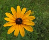 Rudbeckia  City Forest 7-12-17.jpg