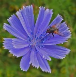 Hoverfly City Forest b 7-12-17.jpg