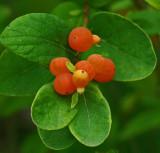 Berries Essex Woods 7-18-17.jpg