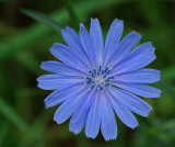 Chicory Essex Woods  b 7-18-17.jpg