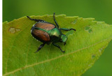 Japanese Beetle Essex Woods 7-18-17.jpg