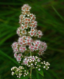 Wildflowers  Essex Woods b 7-18-17.jpg
