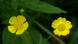 Buttercups Essex Woods 7-18-17.jpg