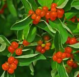 Berries Essex Woods b 7-18-17.jpg