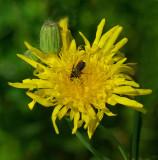 Bee in Flower City Forest 7-19-17.jpg