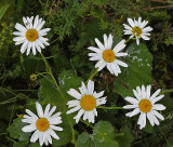 Daisies  City Forest 7-21-17.jpg