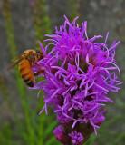 Bee on Gayfeather Garden 7-24-17.jpg