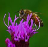 Bee on Gayfeather Garden c 7-24-17.jpg