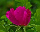 Rosa rugosa Garden 7-24-17.jpg