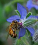 Bee on Borage Garden 7-24-17.jpg