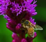 Bee on Gayfeather Garden b 7-24-17.jpg