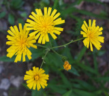 Wildflowers Harbor Brook 7-22-17.jpg