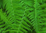 Ferns Sears Island 7-26-17.jpg