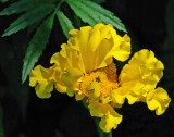 Marigold Garden 7-26-17.jpg