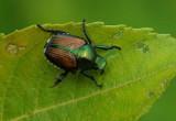 Japanese Beetle Essex Woods 7-18-17.jpg