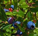 Blueberries   Little Long Pond 7-28-17.jpg