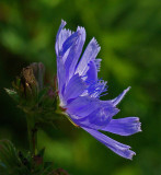 Chicory City Forest b 8-2-17.jpg