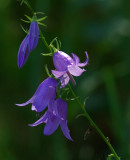 Bellflowers City Forest b 8-2-17.jpg