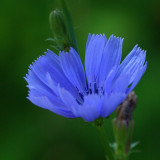 Chicory City Forest c  8-2-17.jpg