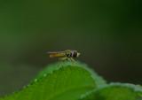 Hoverfly   Garden 7-1-17-ed.jpg