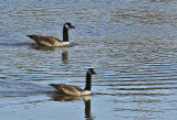 Geese City Forest 4-20-12-ed.jpg