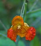 Jewelweed Stillwater River Trail 8-9-17.jpg