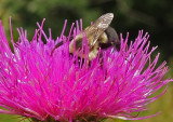 Bee Caribou Bog 8-11-17.jpg