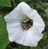 Bee Caribou Bog b 8-11-17.jpg