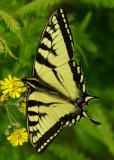 Butterfly- Tunk Mtn. Trail b 6-16-12-pf.jpg