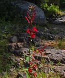 Wildflower Mariaville Falls  8-14-17.jpg