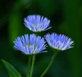 Wildflowers - City Forest 7-2-11-ed-pf.jpg