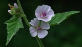 Marshmallow  Garden 8-19-17.jpg