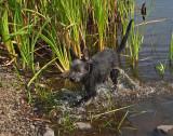 Ollie Beaver Pond c 8-21-17.jpg