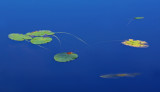 Lily Pads  - Canon Brook Trail 9-24-12-ed.jpg
