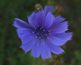 Chicory City Forest 8-25-17.jpg