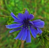 Chicory City Forest b 8-25-17.jpg